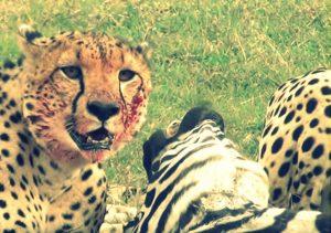 Cheetah eating a zebra