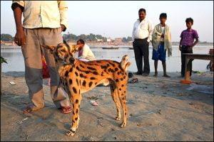 Tiger dog
