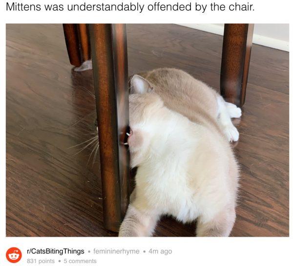 Cat bites chair