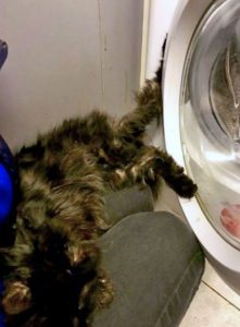 Picture by the RSPCA of cat who get her leg stuck in a washing machine door