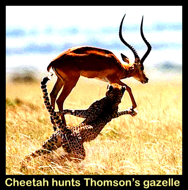 Cheetah hunts Thomsons gazelle