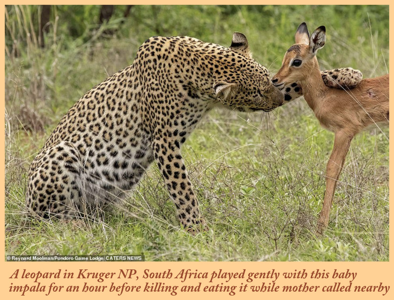Do big cats play with their prey?