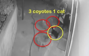 Domestic cat sees off three coyotes