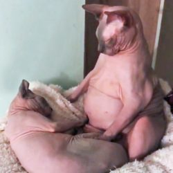 Fat Sphynx cat