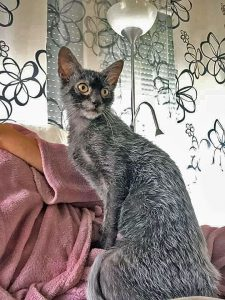 Good picture of Lykoi cat