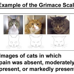 Example of Grimace Scale