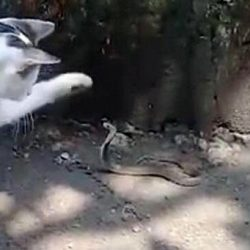 Indonesian domestic cat attacks snake