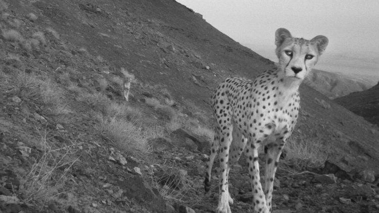 Iranian cheetahs
