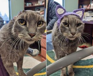 Rescue cat who had to have her ear flaps removed due to self mutilation