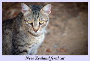 NZ feral cat