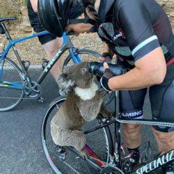 Thirsty koala emerges from bushfires