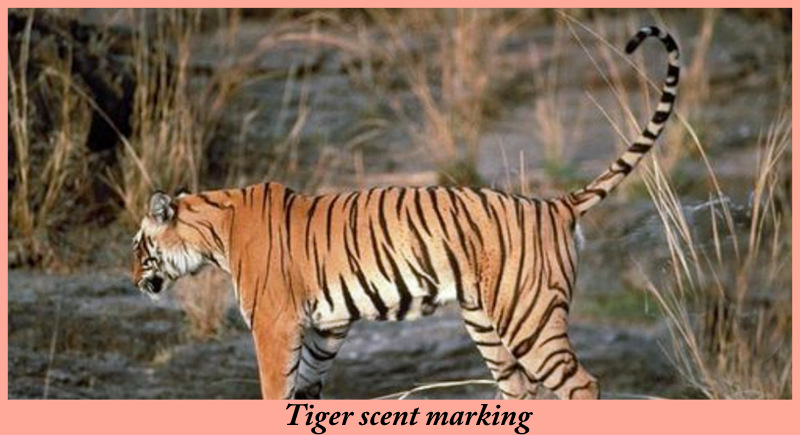 Tiger scent marking