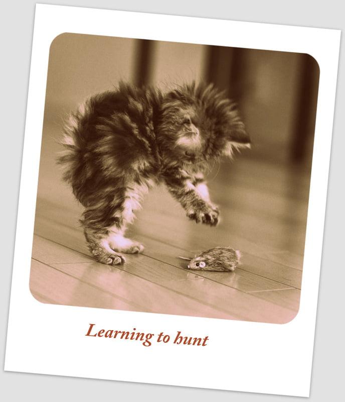 Kitten learning to hunt