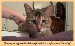 'Journey' a stray cat from China being socialised through positive reinforcement training