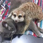 Unusual meerkat and cat friendship