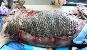 Picture of burned domestic cat being treated with Tilapia fish skin