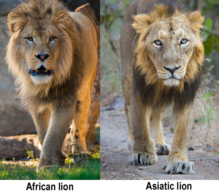 Comparing the African and Asiatic lion