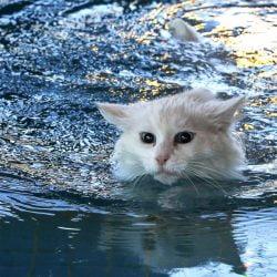 All-white Turkish Van swimming
