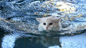 All-white Turkish Van swimming