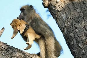 Baboon with lion cub in mouth in tree