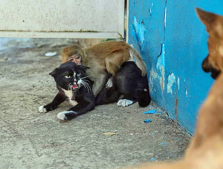 Cat protecting a little monkey from a large dog