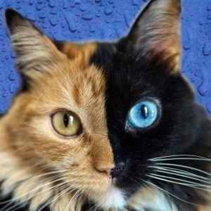 Picture of chimera cat Quimera