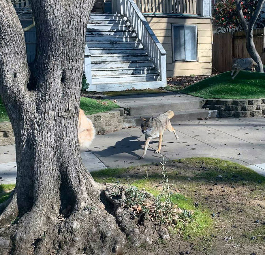 Cat escapes coyote attack by climbing tree