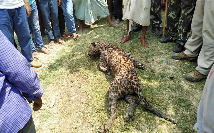The death of a leopard due to the human-leopard conflict