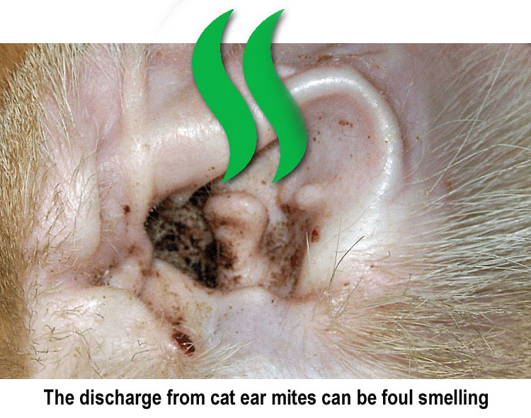 Discharge from cat ear mites can be foul smelling