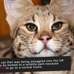 F1 Savannah cat sent to wildlife park
