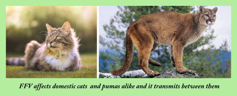 FFV affects pumas and domestic cats