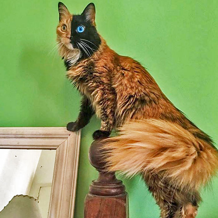 Chimera cat Quimera showing off her superb plumed tail
