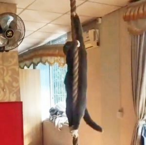 Fit cat climbs 8 foot rope with forelegs only
