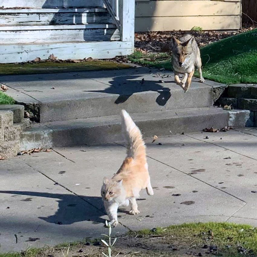 Great picture of coyote chasing a cat in Sacramento USA