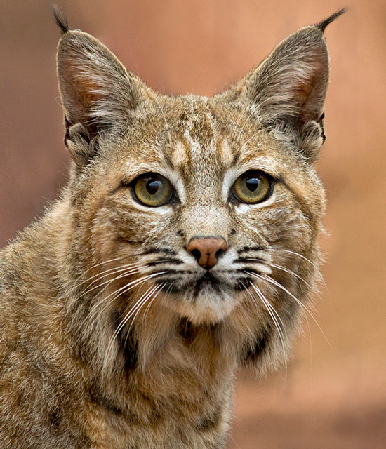 Handsome bobcat