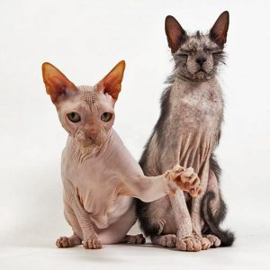 Lykoi and Sphynx. They are Lobo and Dobby.