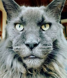 Massive muzzle on Maine Coon