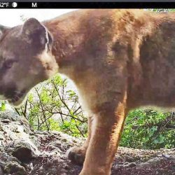 Mountain lion caught in camera trap by National Park Services AP