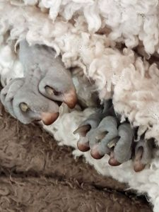 Mystery cat picture? A grey-skined Sphynx (hairless cat) lying between some bedding with their fron paws sticking out.