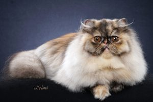 "Helmi Flick's photo at her home studio of SC Surreal's Trick or Treat ""Fruit Loops"", an 8 month old Tortie Smoke Persian Female from Leesa and Mike Altschul! The picture is protected by copyright please note."