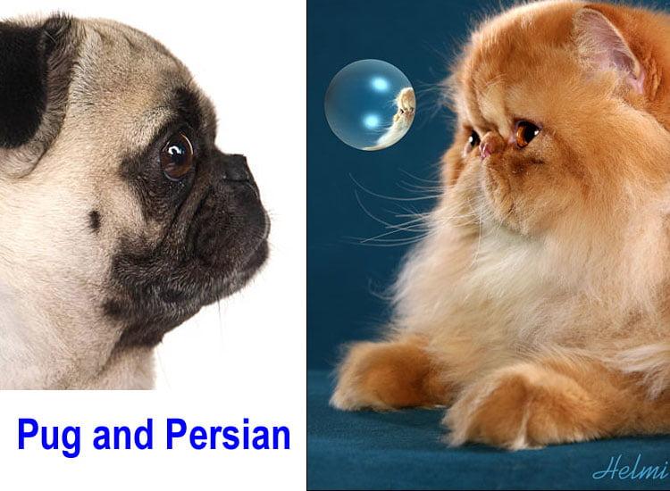 Pug and Persian