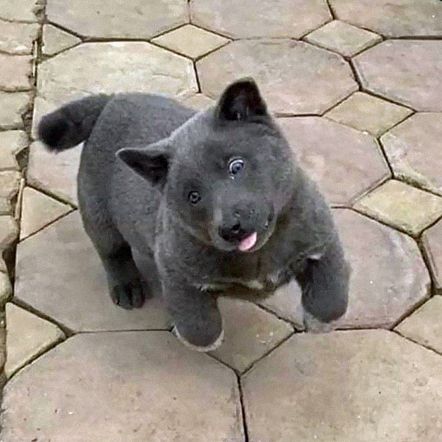 Vietnamese puppy looks a bit like a cat-dog hybrid