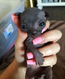 Sphynx baby and long pink false nails