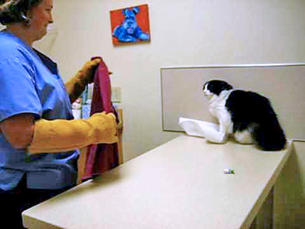 Stressed cat at vet's clinic