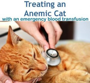 Treating an anemic cat with a blood transfusion of canine blood