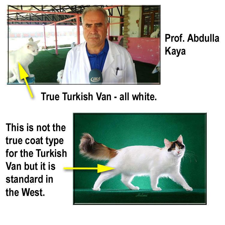 True Turkish Van