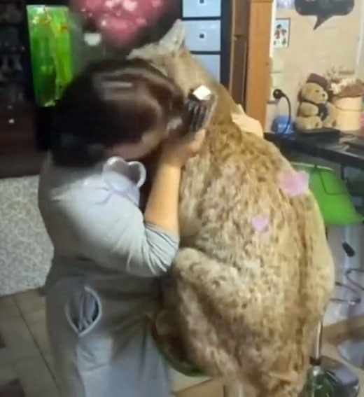 Woman cuddles an enormous Eurasian lynx