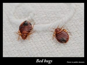 Bed bugs - how to get rid of them without harming your cat