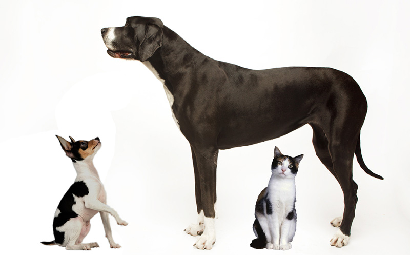 Big dog and little dog showing size difference plus a standard sized cat