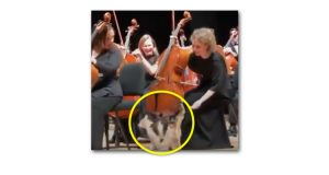 Domestic cat and orchestra